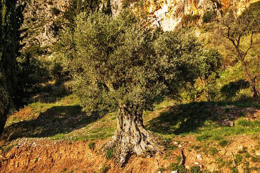 Olive, Tree, Green, Nature, Wild, Healthy