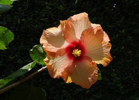 Hibiscus, Peach, Flower, Rosa Sinensis, China Rose