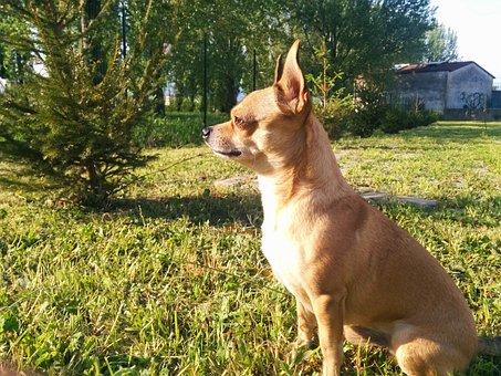 Dog, Sitting, Chihuahua, Campaign, Guard, Scrutinize