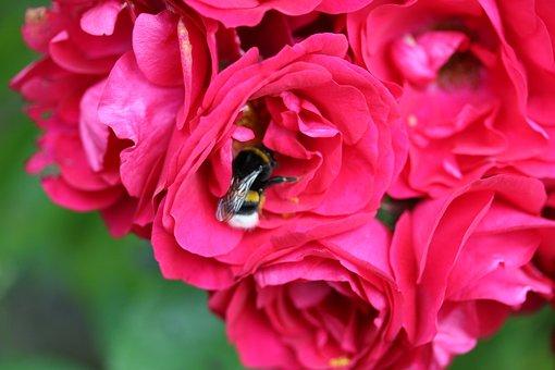 Rose, Red, Nectar, Bee, Garden, Summer, Plant, Flower