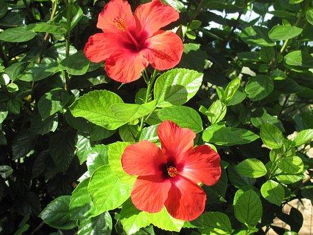 Hibiscus, Flower, Tree, Flowering Tree, Red