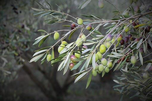 Olive, Olive Trees, Orchard, Tree, Spanish, Close Up
