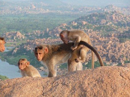 India, Ape, Animals, Wild, äffchen, Nature