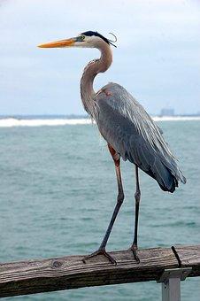 Great Blue Heron, Bird, Wildlife, Heron, Blue, Nature