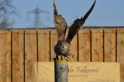 Owl, Eagle Owl, Feather, Bird, Raptor, Falconry