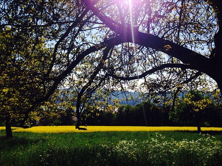 Field Of Rapeseeds, Forest, Nature, Tree, Oilseed Rape