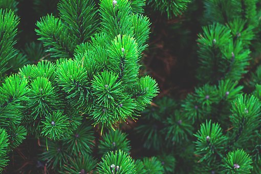 Pine, Plant, Tree, Branch, Needles, Conifer