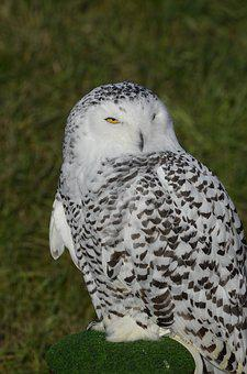 Owl, Snowy Owl, Bird, Feather, Nocturnal, Animal