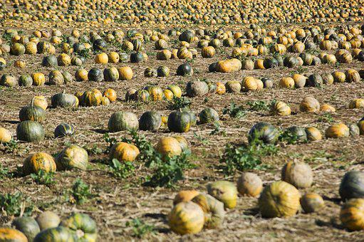 Pumpkin, Field, Squash, Pumpkins, Agriculture, Colorful