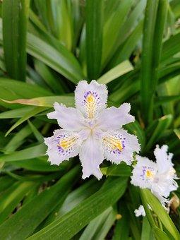 Japanese, Iris, Flower, Plant, Nature, Bloom, Spring