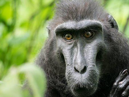 Celebes Crested Macaque, Monkey, Tangkoko Reserve