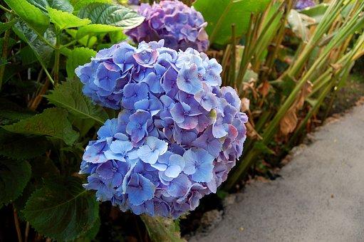 Hydrangeas, Flower, Blue Flower, Blue, Plant, Garden