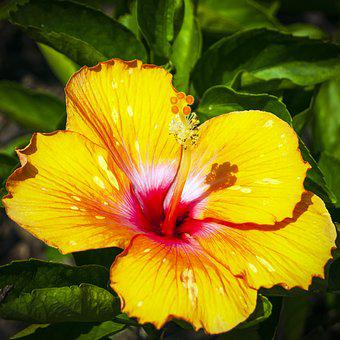 Hibiscus, Yellow Hibiscus, Floral, Yellow Floral