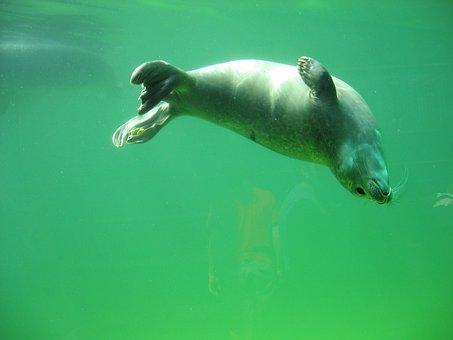 Seal, Robbe, Sea, Animals, North Sea, Water Creature