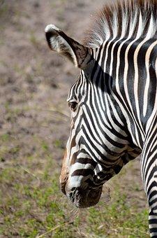 Zebra, Wildlife, Animal, Nature, Stripes