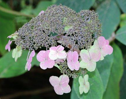 Hydrangea Barbed, Garden, Encyclopedia