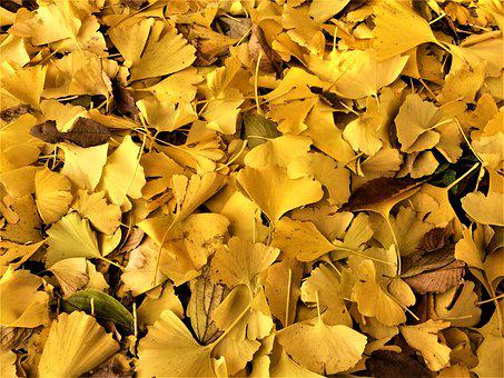 Maidenhair Tree, Gingko Tree, Yellow Leaves