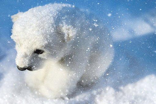 Polar Bear, Predator, Animal, White, Young, Sitting