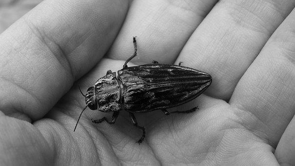 Beetle, Elytra, Insect
