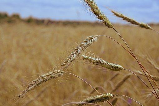 Rye, Field, Spikes, Harvest, Mature, Nature, Plant
