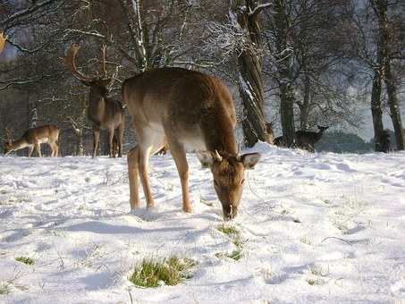 Deer, Snow, Feeding
