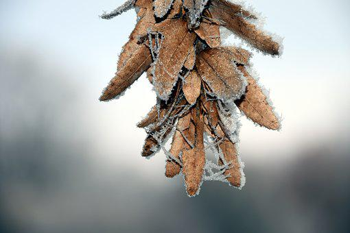 Maple, Seeds, Cold, Frost, Eiskristalle, Winter, Snow