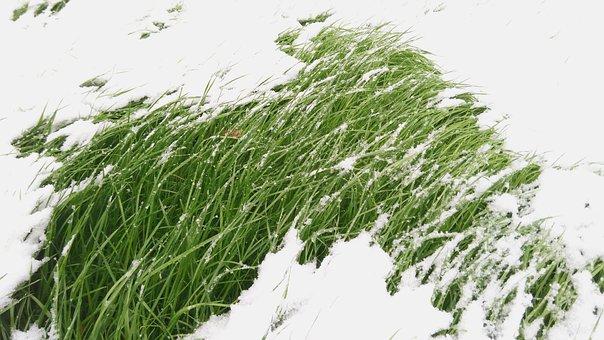 Grass, Snow, Winter, Green Grass, Cold, Frozen