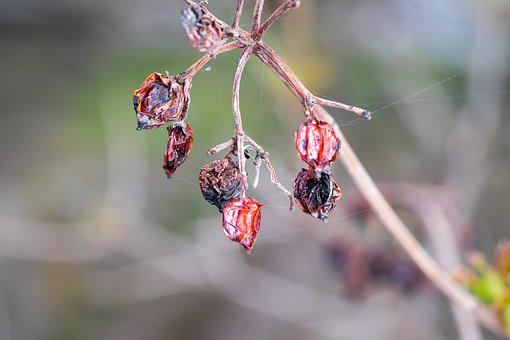 Spider Web, Rose Hip, The Old Hive, Bush, Dried-up, Old