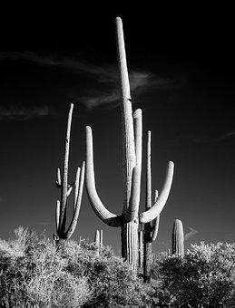 Cactus, Sw, Black And White, Saguaro, Desert, Prairie