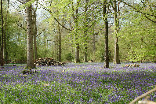 Bluebells, Forest, Woods, Capel, Woodland, Countryside