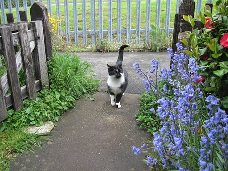 Cat, Bluebells, Red Camellia, Enter, Garden
