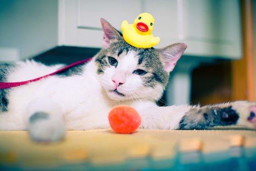 Cat, Rubber Duck, Duck, Rubber, Bath, Kitten, Pet, Game