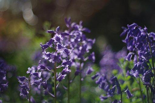 Purple, Bluebell, Spring, Closeup, Happy, Light