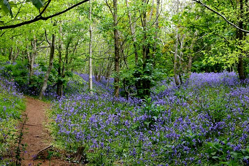 Bluebells, Woods, Spring, Countryside, Blue, Tree