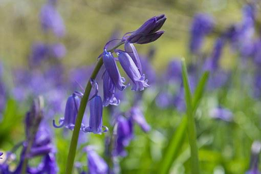 Bluebells, Woods, English, Spring, Blue, Woodland