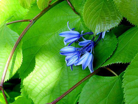 Bluebell, Flower, Blue, Leaf, Green, Nature