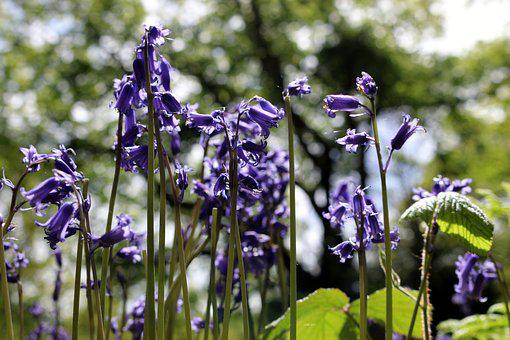 Bluebell, Forest, Nature, Spring, Flowers, England