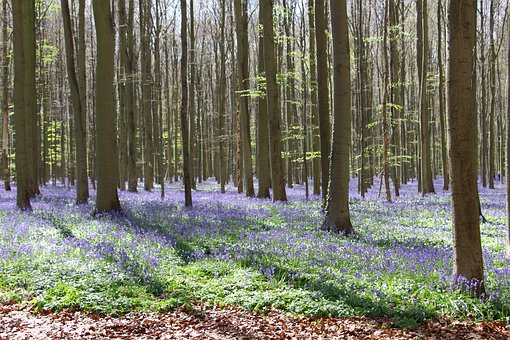 Flowers, Bluebell, Trees, Purple