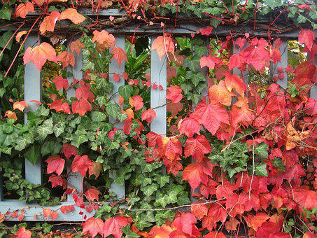 Garden In Autumn, Wine Partner, Ivy And Wine, Fence