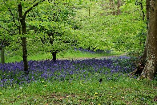 Bluebells, Woodland, Spring, Blue, Purple, Green