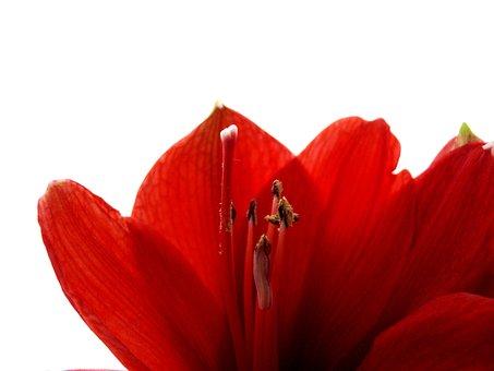 Amarillis, Amarillisblüte, Amaryllis, Amaryllis Bloom