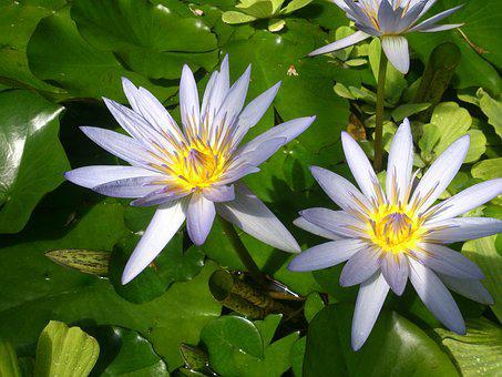Flowers, Water Lilly, Pond