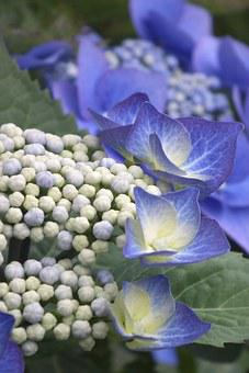 Hydrangea, Blue, Blossom, Bloom, Flower, Nature, Plant