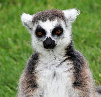 Lemur, Madagascar, Monkey, Portrait, Wildlife, Animal