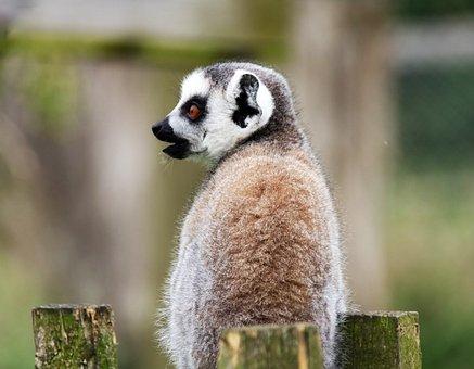 Lemur, Monkey, Madagascar, Animal, Wild, Mammal