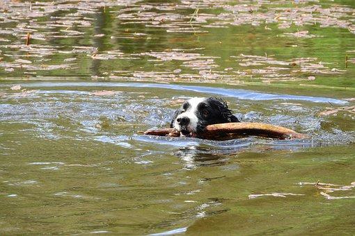 Floating Dog, Border Collie, Swim, Aport