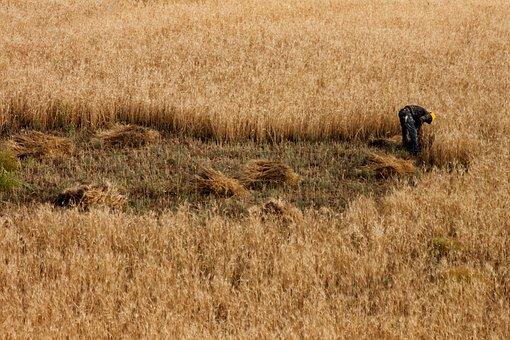 Field, Wheat, Orak, Mow, Worker, Nature, Spike, Mardin