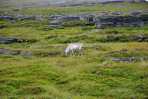 Norway, Northern Cape, Rennes, Deer, Lapland