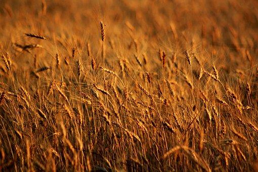 Spike, Field, Wheat, Seed, Mardin