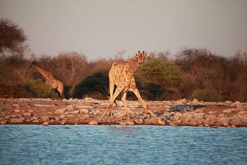 Africa, Savannah, Safari, Nature, Bush, Namibia